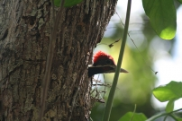 Lineated woodpecker spotted by KidsEcoClub