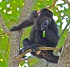 LFRC resident howler monkey having a leafy morning snack