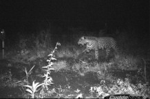 A jaguar caught by one of our camera traps