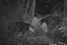Belize's national animal, Baird's Tapir
