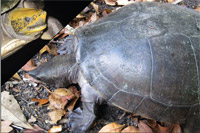 Freshwater Turtles of Belize