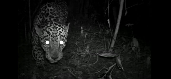 Jaguar video screen capture